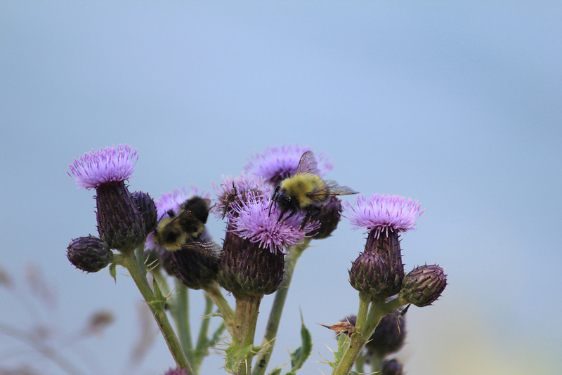 Bee and thistle<br /> Weaselhead Natural Area Calgary